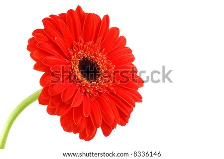 Red gerbera on a white background