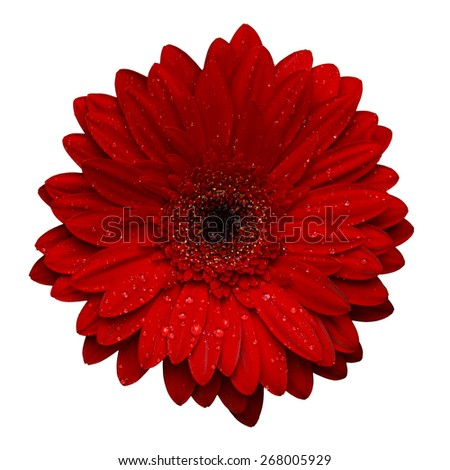 Red gerbera with water drops isolated on white background - stock photo