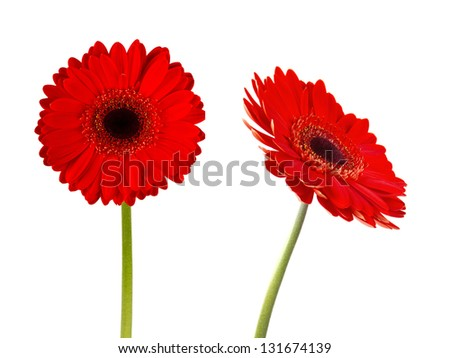 red gerbers flowers isolated - stock photo