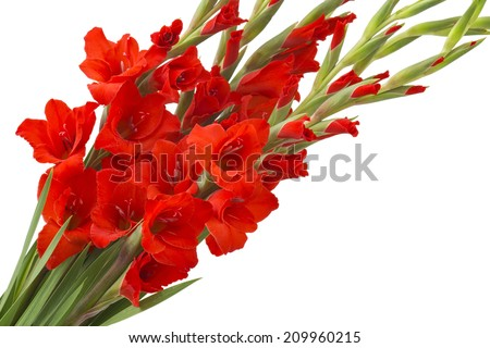 red gladiolus flowers - stock photo