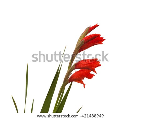 Red Gladiolus in drops of dew on a white background isolated - stock photo