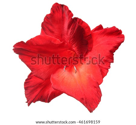 Red gladiolus, isolated on white