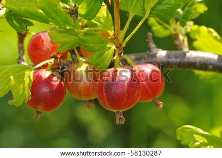 Red gooseberries hanging on a bush.