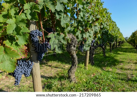 Red grape from the vine in Bordeaux vineyard - stock photo