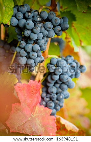 red grape leaf with blurred background