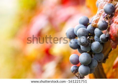 red grape on vine - stock photo