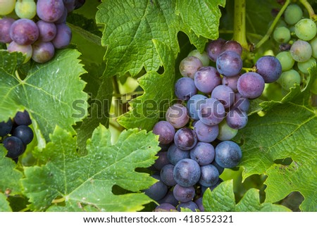 Red grapes and leaves on a grapevine in wine district Saint-Emilion. - stock photo