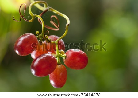 Red grapes hanging on a vine - stock photo