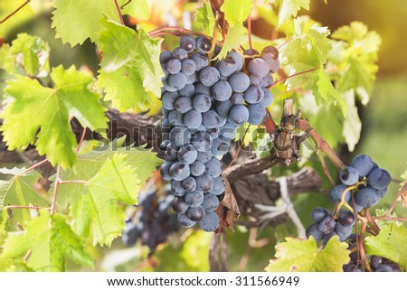 Red grapes hanging on the vine in the sun. Red grapes and vine leaves with autumn tints. Soft and blur style for background. A photo with shallow depth of field - stock photo