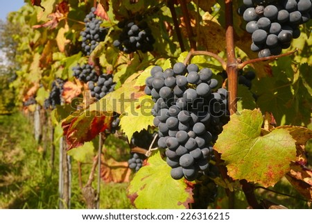Red grapes hanging on vine in the Black Forest, Germany/Red grapes on vine - stock photo