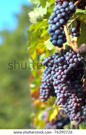 Red grapes in the vineyard - stock photo