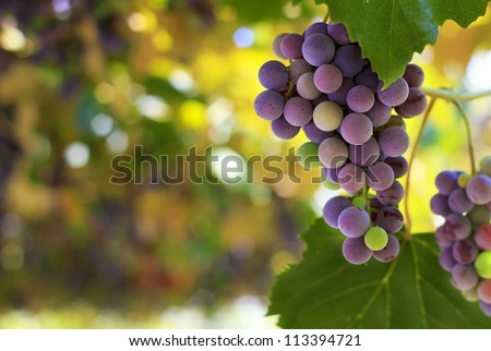 Red grapes in the vineyard with boke - stock photo