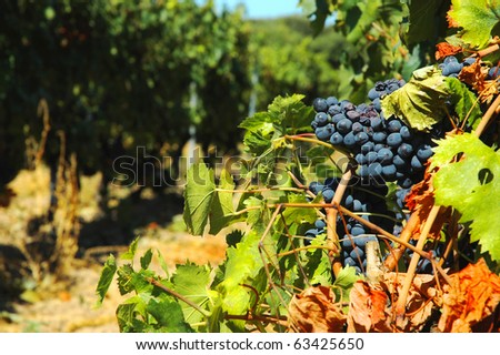 Red Grapes on the Vine in Corsica Close Up Macro ready to be made into Wine - stock photo