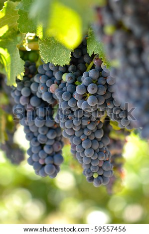 Red Grapes on the Vine in Napa Valley California - stock photo