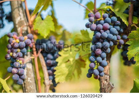 REd grapes on vine - stock photo