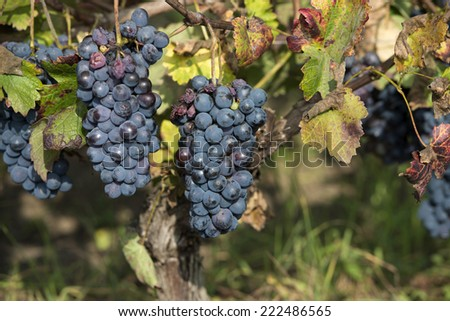red grapes ready for harvest - stock photo