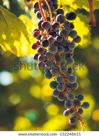 Red grapes ready to be harvested at a vineyard. - stock photo