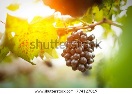 Red grapes ready to be harvested at a vineyard in the north of thailand