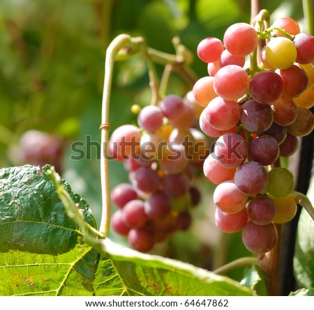 Red grapes. Shallow depth of field - stock photo
