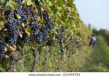 red grapes vineyard ready for harvest - stock photo