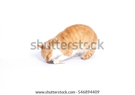 red gray pet cat eats the mouse on a white background