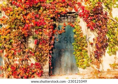 Red, green and orange leaves of a Boston ivy or parthenocissus tricuspidata veitchii  in autumn framing and surrounding an old grunge door in a tipical farmer house in Italian countryside