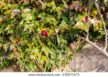 Red, green and orange leaves of a Boston Ivy, parthenocissus tricuspidata veitchii, and red rose in autumn on an old grunge wall in a tipical farmer house in Italian countryside - stock photo