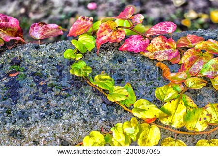 Red, green and orange leaves of a Boston Ivy, parthenocissus tricuspidata veitchii,  in autumn on an old grunge black wall in a tipical farmer house in Italian countryside - stock photo