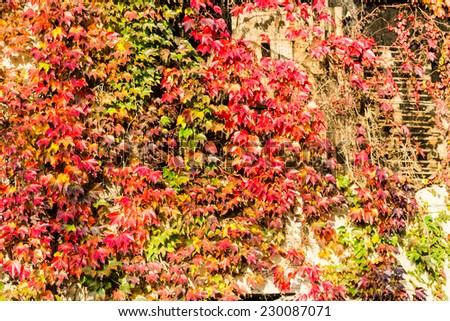 Red, green and orange leaves of a Boston Ivy, parthenocissus tricuspidata veitchii,  in autumn on an old grunge wall in a tipical farmer house in Italian countryside - stock photo