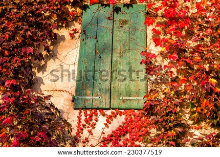 Red, green and orange leaves of a Japanese Creeper or parthenocissus tricuspidata veitchii  in autumn framing and surrounding an old grunge window in a tipical farmer house in Italian countryside - stock photo