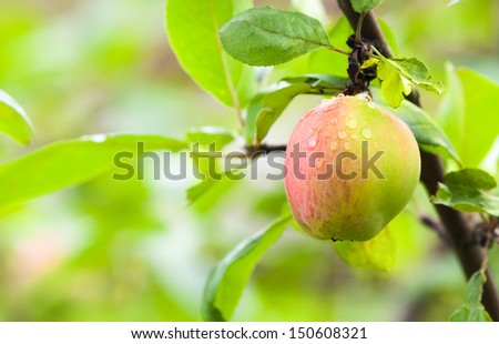 Red green apple with dew on the branch. Photo with selective focus - stock photo