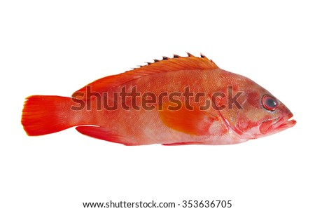 Red grouper fish isolated on white background - stock photo