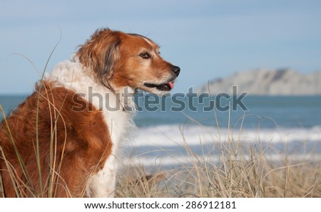 red haired collie type dog sitting licking it lips in sand dunes at Gisborne beach, New Zealand   - stock photo