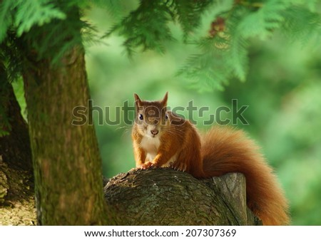 red-haired squirrel on a tree - stock photo