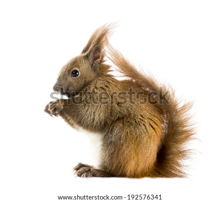 Red-haired squirrel with long tassels on the ears sitting in profile. Isolated on white background - stock photo