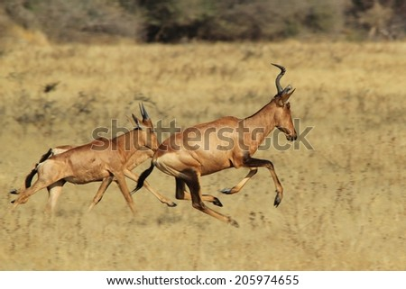 Red Hartebeest - African Wildlife Background - Horned Red Beauties