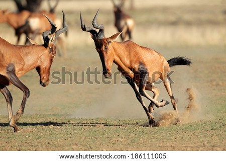 Red hartebeest (Alcelaphus buselaphus) frolicking, Kalahari desert, South Africa - stock photo