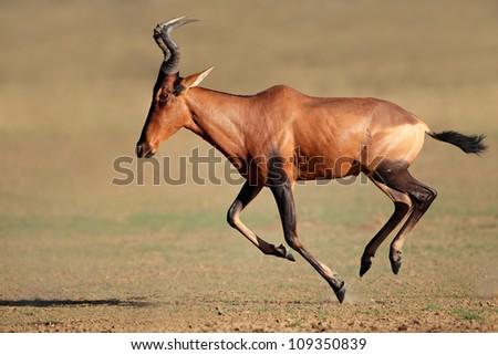 Red hartebeest (Alcelaphus buselaphus) running, Kalahari desert, South Africa - stock photo