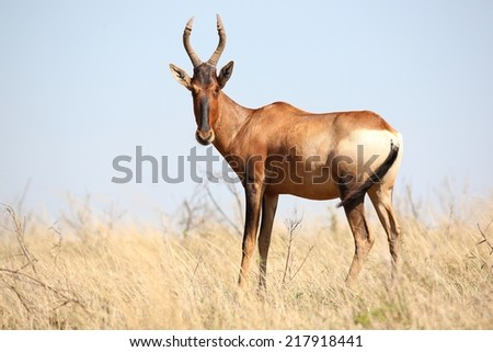 Red Hartebeest antelope standing in the long African grassland - stock photo
