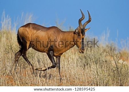 Red Hartebeest running down a sand dune; Alcelaphus buselaphus - stock photo