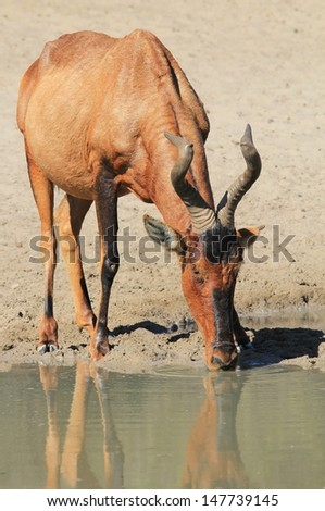 Red Hartebeest - Wildlife from Namibia, Africa - Drinking water, this bull indicates where he got his name from.  A red hide.