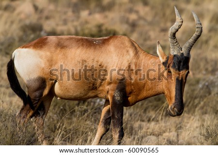 Red Hatebeest standing on the Karoo Grass fields - stock photo