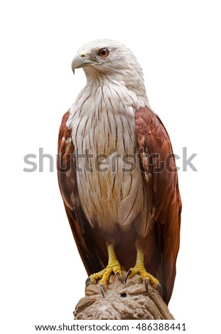 Red Hawk On White Background