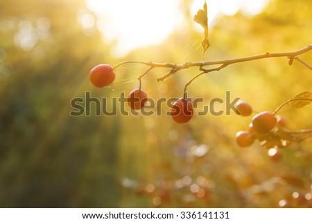 red hawthorn berries - stock photo