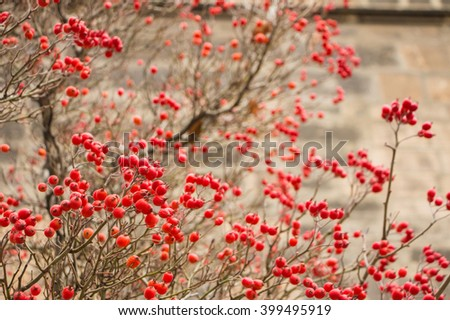 Red hawthorn berries in autumn. Healthy wild fruits. Beautiful hawthorn berries background with many red berries on naked branches without leaves. Blurred backdrop with place for your own text.   - stock photo
