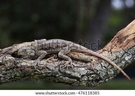 Red Head Agama (Agama agama)