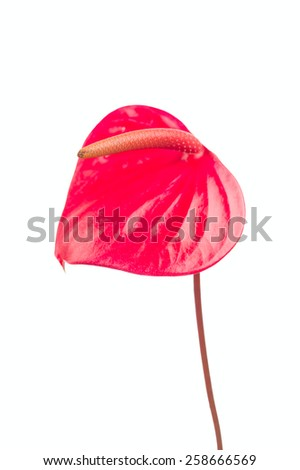 Red heart, red anthurium flower - stock photo
