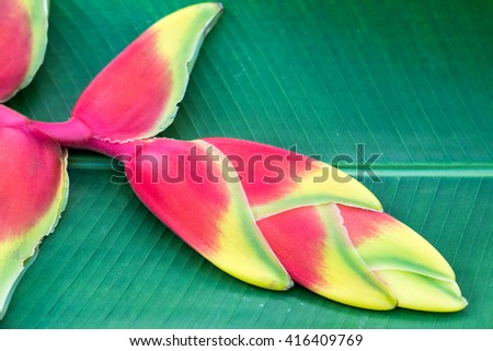 red Heliconia flower  - stock photo