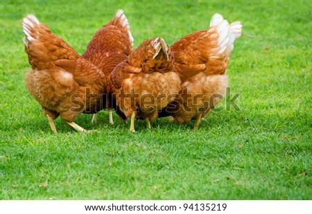 Red Hen Meeting - stock photo