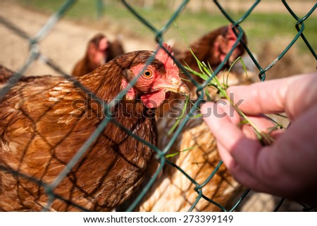 Red hens in a farmyard being fed with grass from the hand - stock photo